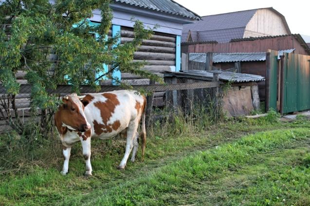 Lehmiä kotipihassa