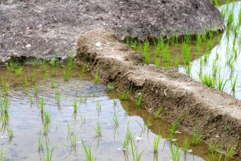 Riisin kasvatusta