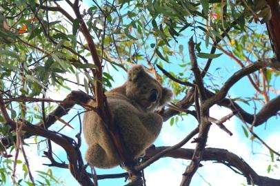 Koala puussa