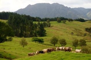 Lehmatkin ihmettelee menoa