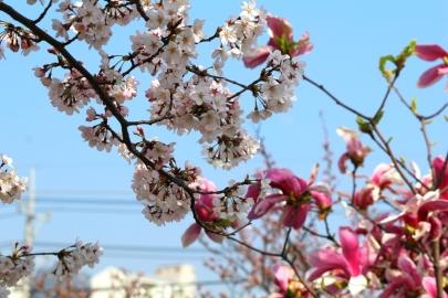 Kirsikankukat Etelä-Korean