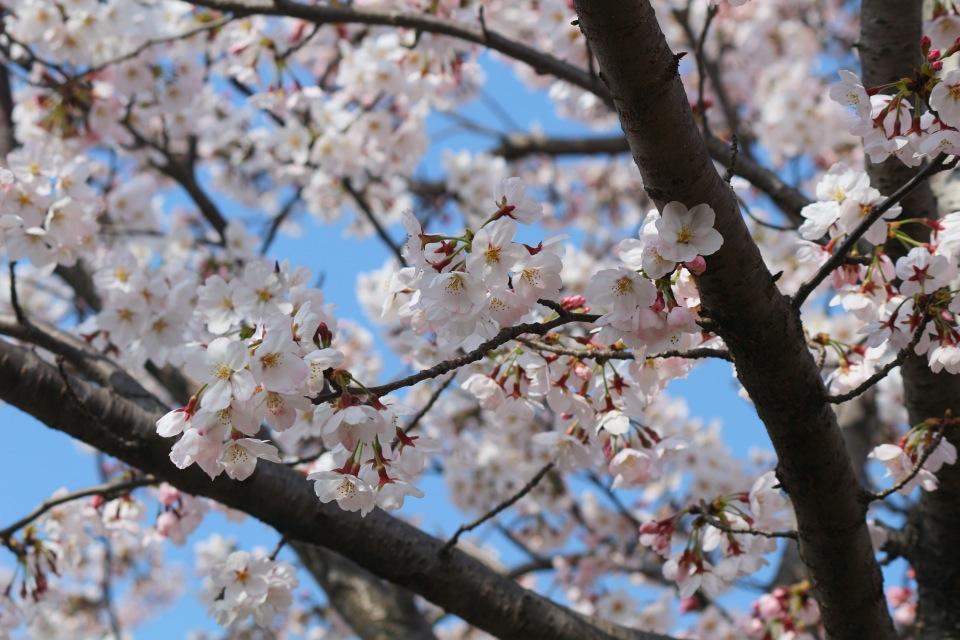 Hanami eli kukkivat kukat