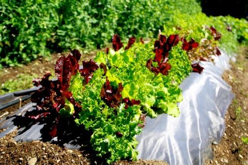 Salaattia