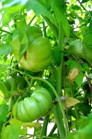 Isoja tomaatteja