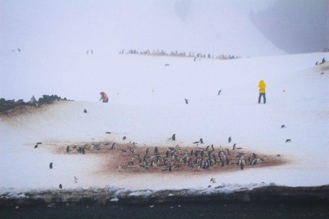 Ensimmäinen pingviinikuppikunta