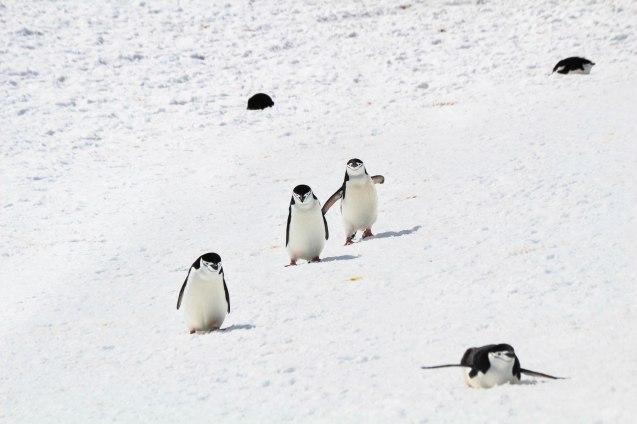 Valkoisia pingviinejä