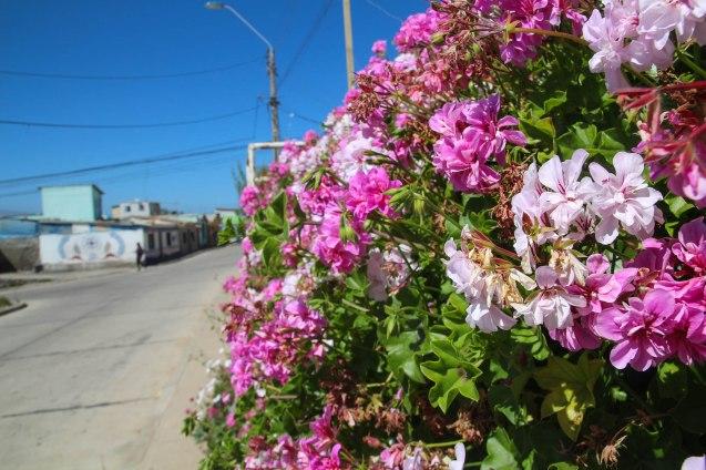 Coquimbon ruusutarhaa