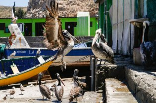 Coquimbon pelikaaneja