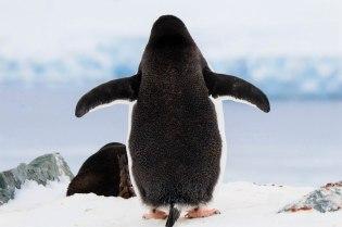 Mustia pingviinejä