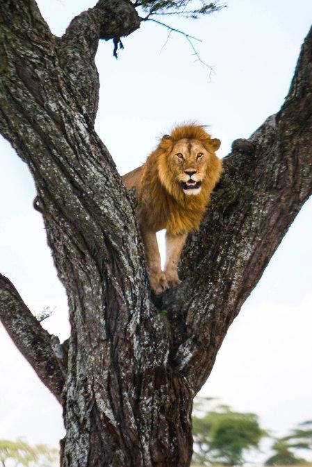 Iso leijona