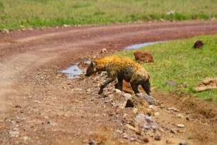 Itse hyeena