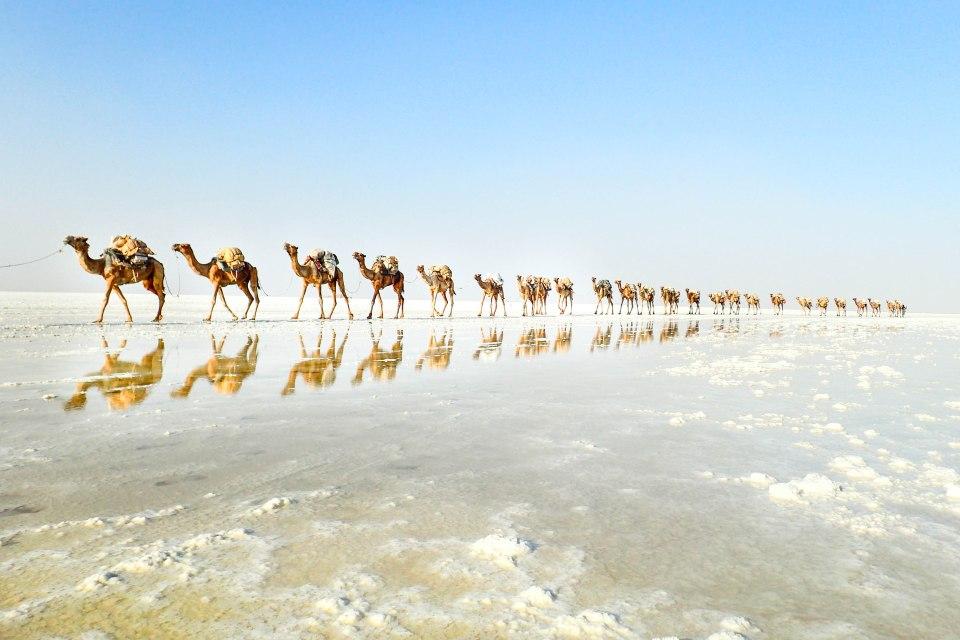 Kamelijoukko vaeltaa